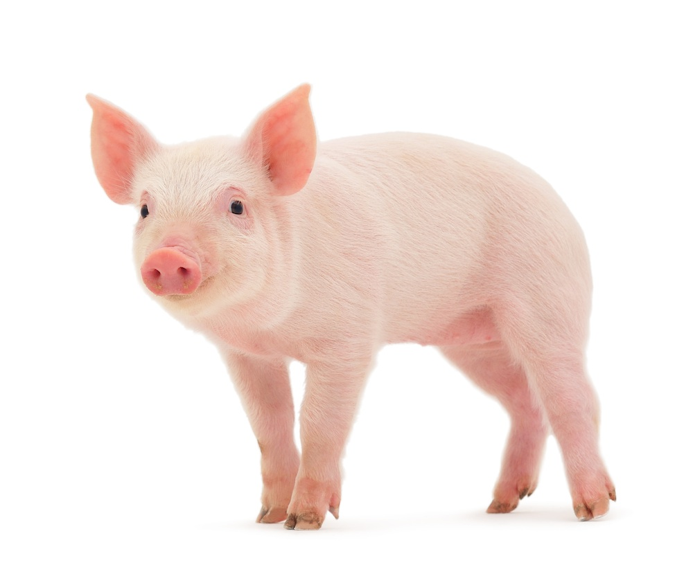 Oh, Great: Another Reason To Kill Pigs