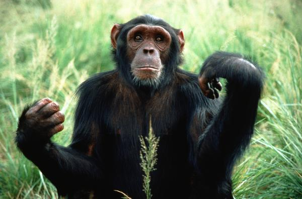 National Institutes of Health Finally Sends Research Chimpanzees To Retirement